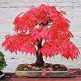 Plantas de bonsái de arce rojo raro, 20 unidades de bonsái, macetas para árbol de bonsái, para casa, jardín, jardín, arce japonés, plantas de bonsái, balcón, color amarillo claro