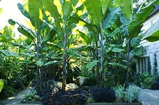 Seeds Musa Balbisiana Atia Black Cold Hardy Thai Banana Fruit Tree Get 10 Seeds Fresh Seeds Easy Grow AB007