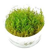 Tropica - Vesicularia dubyana 'Christmas' 1-2 Grow (Christmas moss) - Piante d'acquario