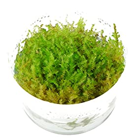 Tropica Christmas Moss Vesicularia dubyana 'Christmas'
