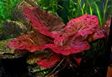 <span class='highlight'>Biotope</span> <span class='highlight'>Aquatics</span> <span class='highlight'>Ltd</span> 1 x live aquarium bulb - NYMPHAEA RUBRA Red Tiger Zenkeri Lotus - plant tropical fish tank hide for betta