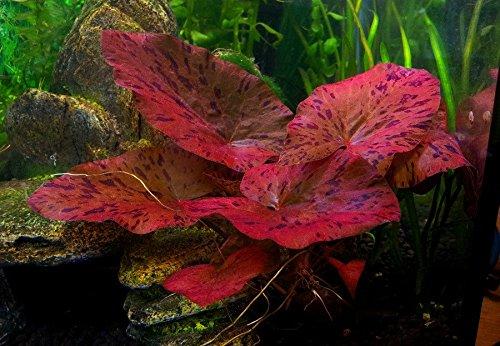 1 bulbo di pianta viva per acquario, ninfea rubra rossa, fiore di loto, pianta tropicale per acquario, ottimo nascondiglio per pesci