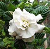 GEOPONICS Gardenia JAMINOIDE Frant Jamine Vanilla Cent graines 1000+