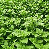 Bravet New Zealand Spinach Seeds Tetragonia Tetragonioides Vegetables Garden Plants Vegetables