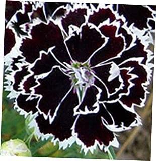 WWY 25 Pcs Seeds Dianthus Heddewigii Black & White - RK99