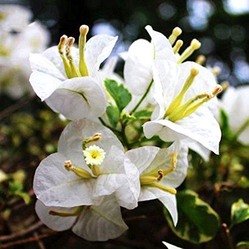 BAD Inc 100 Pcs/sac blanc Bougainvilliers Graines Plantes vivaces à fleurs en pot Fleurs de charme chinois