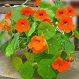 Eantpure Semillas de macetas de Flores,Semillas de milicia Seca Flores de Vid trepadora-Dry Jinlian_500g,perenne Resistente Semillas