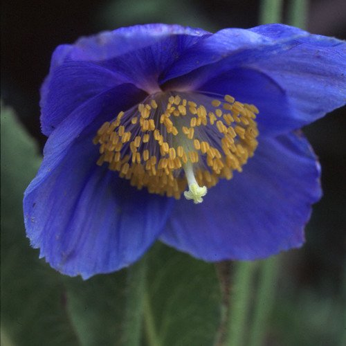 Plant World Seeds - Meconopsis Grandis Seeds