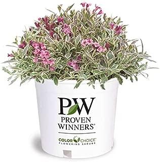 Proven Winners - Weigela florida My Monet (Weigela) Shrub, pink flowers, #2 - Size Container