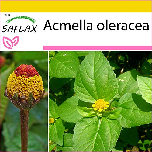 SAFLAX - Brède mafane - 500 graines - Acmella oleracea