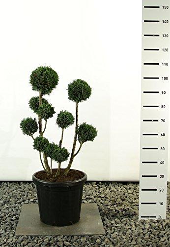 Formschnitt Pon Pon Blaue Scheinzypresse - Chamaecyparis lawsoniana Elwoodii - verschiedene Größen (80-100cm - Topf Ø 36cm-20Ltr.)