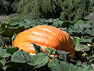 Atlantic Giant Pumpkin Seeds, 15 Heirloom Seeds Per Packet, Non GMO Seeds