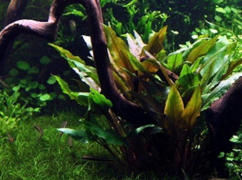 WFW wasserflora Breitblättriger Wasserkelch, Cryptocoryne undulata 'Broad Leaves'