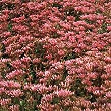 Outsidepride Sedum Purple Carpet - 5000 Seeds