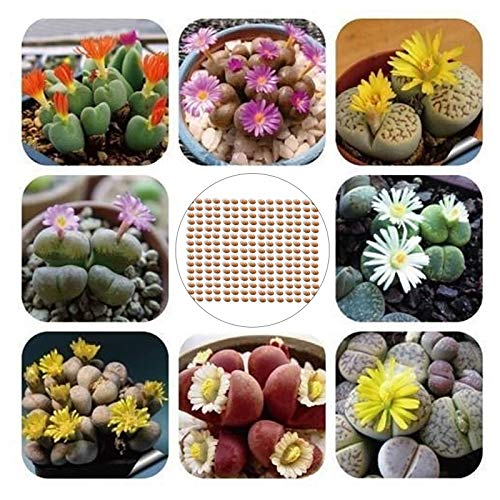 Oce180anYLVUK Lithops Samen, 200 Stück Beutel Lithops Samen Pflegeleichte Mehrjährige Pflanze Sukkulenten Pflanzen Im Freien Modell Office Seeds Lithops Samen