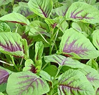 350++ Red Amaranth Seeds, Chinese Spinach Seeds Amaranth, Yin Cho or Callaloo