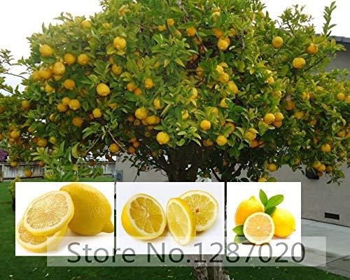 20 rares graines d'arbres de citron délicieux graines d'arbres fruitiers pour la maison jardin plantation survie Taux élevé (95% +)