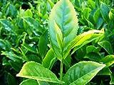 Tee Camellia sinensis Pflanze 25-30cm echte Teepflanze Teestrauch Rarität