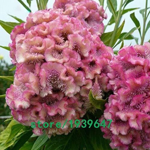 Bloom Green Co. 500 pcs/sac Rare Magnifique couleur Cockscomb Graines Balcon Patio Bonsai Graines de fleurs Celosia cristata Plante en pot + Cadeau Mystère: Noir