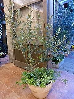 オリーブの木 品種違い2本寄せ植え Oli-me(オリーミー) アイビーを垂らしてオシャレ仕上げM-サイズ テラコッタ陶器鉢植え 『One' Garden 植え替え済み オリジナル作成』