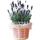 100seeds / borsa da sera di semi di primula semi Tuberosa fiori Sementi di fiori bellissimi fiori profumati