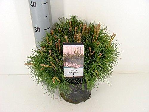 Krummholz Kiefer Bergkiefer - Pinus mugo mughus - verschiedene Größen (25-35cm - 3 Ltr.)
