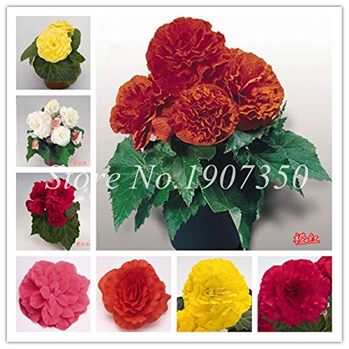 Shopmeeko Graines: 100 Pcs/Mitigé Begonia fleur en pot de bonsaïs d'intérieur Decoratie beau jardin mur usine Décoration pour l'arbre de Noël: mixte