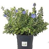 Sandys Nursery Online Blue Daze Evolvulus Glomeratus, Live Flowering Plant, Gallon Pot