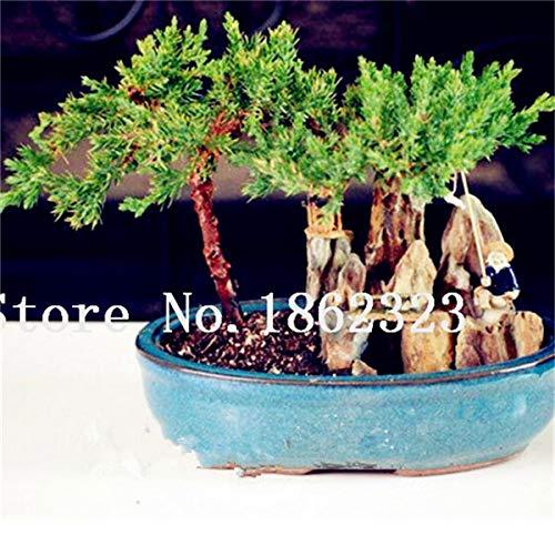 Shopmeeko Graines: 60 Pcs Rare coloré Juniper Bonsai Starter Arbre japonais -Juniperus PROCUMBENS & # 39; Nana & # 39; Plante en pot pour jardin Plante en pot: 8