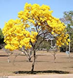 Tabebuia chrysotricha 15/100/500 Samen, Goldene Trompete Flowering Tree, USA