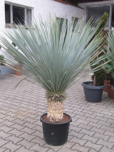 Echtpflanze, Yucca Rostrata - Blaublättrige Palmlilie ca. 40-50 cm (907910038)