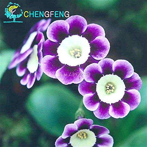 Livraison gratuite 2016 ventes chaudes de couleur secrète Primrose Seeds.Primula malacoides Fleurs Seeds.China Fleurs rares rose comme cadeau