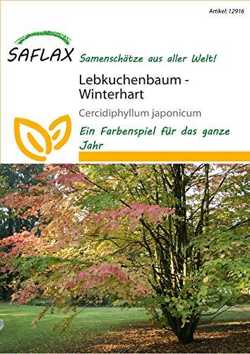 Saflax 12916 Lebkuchenbaum (Lebkuchenbaumsamen)