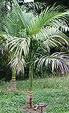 Alexanderpalme -10 x Samen - Archontophoenix alexandrae -Palmensamen -