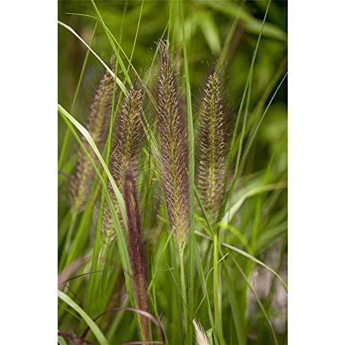 Pennisetum alopecuroides var.viridescens...