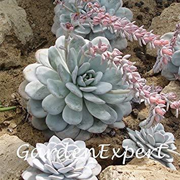 VISTARIC 8: de Canna indica seeds. Perennial énorme fleur en pot herbes graines pour brun rougeâtre Maison et jardin plant. Lily Variété Bonsai Seed 8