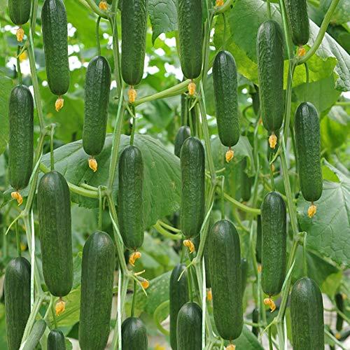 10pcs Semillas Frutales Pepinos, Semillas Frutos Pepinos para ...