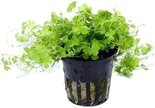 pennywort aquatic plant