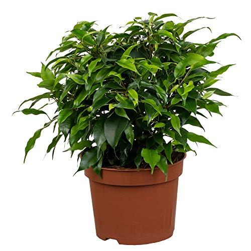 Florado Birkenfeige 'Green Kinky', Ficus Benjamini, echte Zimmerpflanze, Pflanze, Topfgröße 12cm