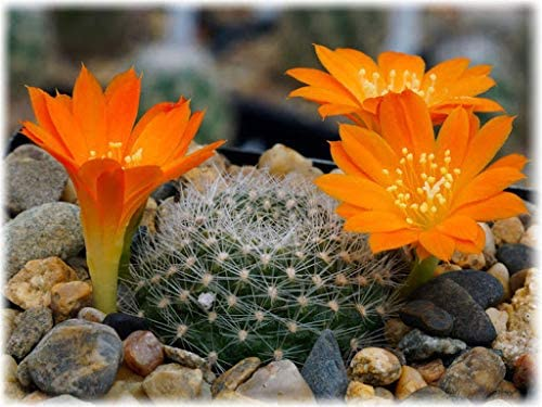Elwyn 100pcs Max 55% OFF Cactus Super-cheap Plant Rebutia Seeds