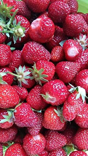 5 Stk. Fragaria 'Elsanta' ® Erdbeerpflanze im Topf
