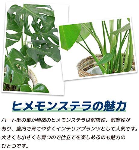 観葉植物の専門店彩植健美『ヒメモンステラ6号鉢鉢カバー付』