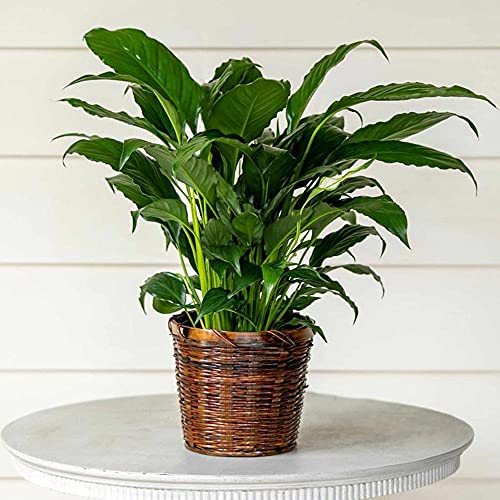 """White Flower Farm Live Peace Lily Indoor Plant (Spathiphyllum) in a 7"""" Woven Basket (B010126)"""