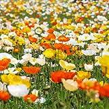 Mohnblume Iceland Poppy 0,25 gr (für mehr als 1000 Blumen)