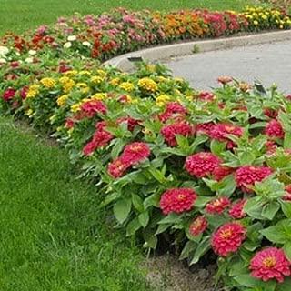 Zinnia Magellan Mix F1 Seeds - Flower Seeds Package - 250 Seeds