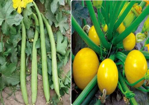 FERRY Hohe Wachstum Seeds Nicht NUR Pflanzen: Seed Sie Lang und Zucchini (Squash) Runde Gelb (Hybrid) Seed (Packung mit 25 Seed Ich Long + 25 Samt Zucchini (Squash) Runde Gelb (Hybrid) See