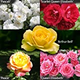 Garden Glamour Rose Bush Collection in 5 Varieties...