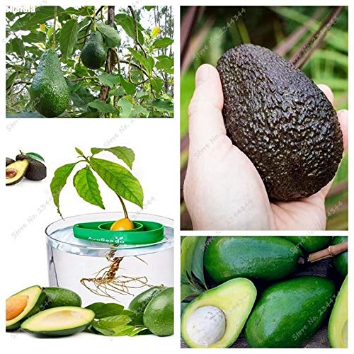 Portal Cool 5pcs / Sac Graines d'avocat Vivace Juicy exotique Bonsai organique Poire arbres fruitiers òû