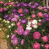 アスター種子ダブルレインボーミックスエゾギク花の種 - 100個の種子