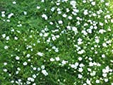 Sagina subulata - Sternmoos, 50 Pflanzen im 5/6 cm Topf